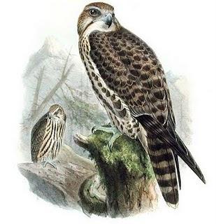 halcón sacre aves de presa en peligro de extinción