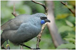 kokako Callaeas cinereus aves en peligro de extincion de Nueva Zelanda