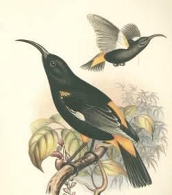 mamo Drepanis pacifica aves extintas de las islas Hawaii
