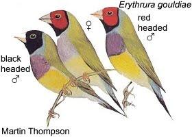 pinzon de Gould Erythrura gouldiae aves de Australia en peligro de extincion