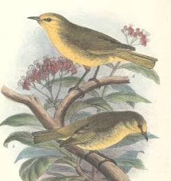 Paroreomyza montana hawaian islands birds