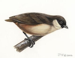 po´ouli Melamprosops phaeosoma birds hawaian extinction