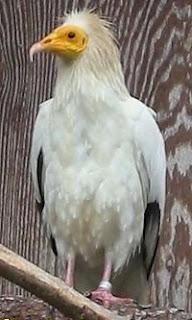 alimoche Neophron percnocterus aves de Europa en peligro