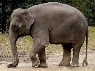 elefante asiatico Elephas maximus