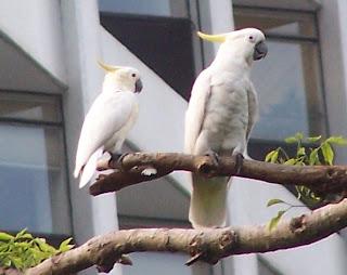 cacatua de moño naranaja Cacatua sulphurea aves de Indonesia en extincion