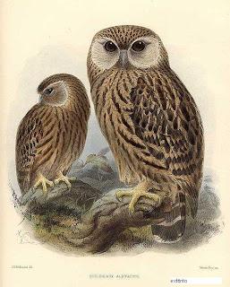 ninox reidor Sceloglaux albifacies aves extintas de Nueva Zelanda