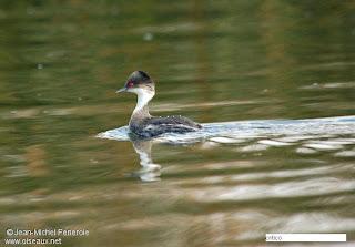 zampullin de la puna Podiceps taczanowski aves de Perú en extincion