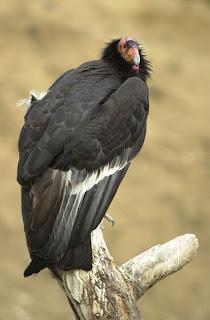 condor de California Gymnogyps californianus aves de america en extincion
