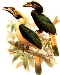 Calao de Mindoro Penelopides mindorensis en extincion