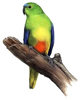periquito de vientre naranaja Neophema chrysogaster aves en peligro de Australia