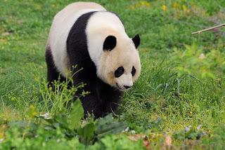 oso panda Ailuropoda melanoleuca