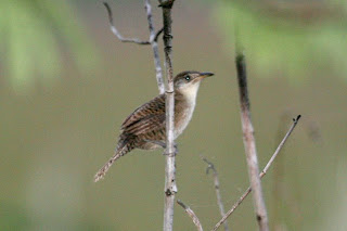 ratona de Zapata Ferminia cerverai aves de Cuba en extincion
