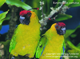 perico cornudo Eunymphicus cornutus