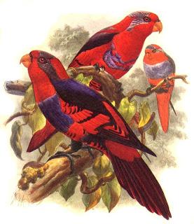 lori de sangir Eos histrio aves de Indonesia en extincion