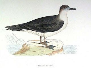 petrel antillano Pterodroma hasitata