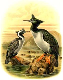 cormoran de las Pitt Phalacrocorax feaherstoni
