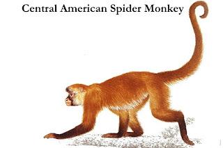 geoffroy`s spider monkey