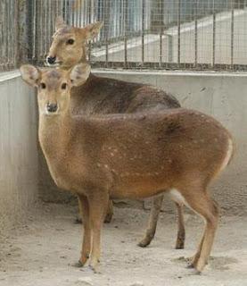 ciervo porquerizo de china Axis porcinus ciervos en peligro de extincion