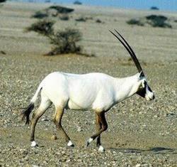 orix de arabia Oryx leucoryx