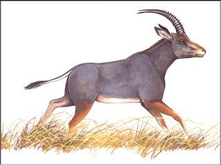 extinct Blue buck