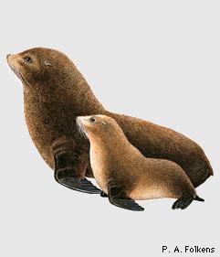 oso marino de las Galápagos Arctocephalus galapagoensis