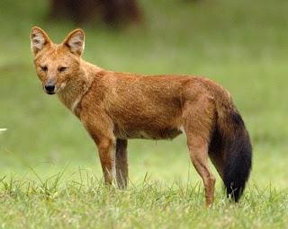 cuon Cuon alpinus canidos de asia en peligro de extincion