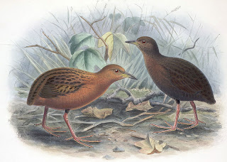 Hawaiian rail
