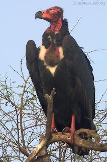 Buitre de cabeza roja en extincion Sarcogyps calvus