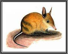 extinct Desert Bandicoot