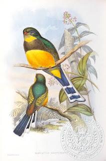 trogon de Java Apalharpactes reinwardti aves de Indonesia en extincion