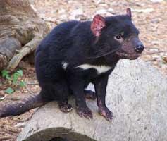 diablo de tasmania Sarcophilus harrisi