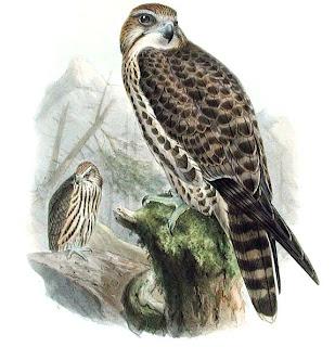 halcon sacre Falco cherrug halcones en extincion