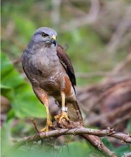 busardo de la Española Buteo ridgwayi aves de america en extincion