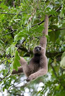 Muller´s bornean gibbon