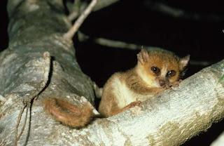 Madame Berthe´s mouse lemur