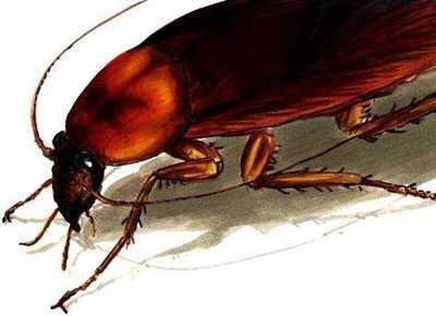 101 curiosidades sobre las cucarachas for Como eliminar cucarachas del desague