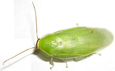 Cucaracha verde