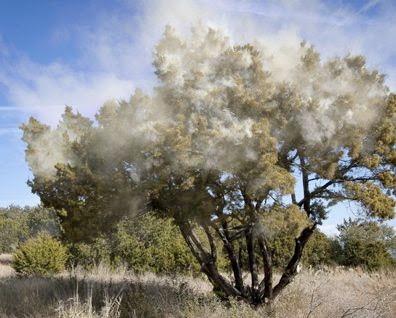 Juniper Cedar Texas Pollen Explosion