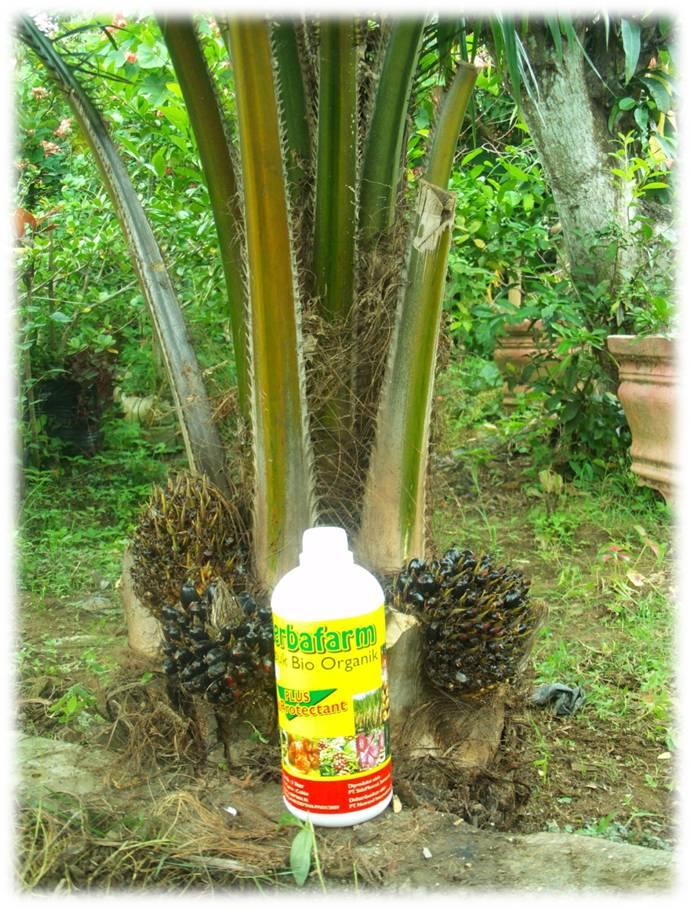 Herbafarm Pada Tanaman Melon Cabe Jagung Mat Kelapa Sawit