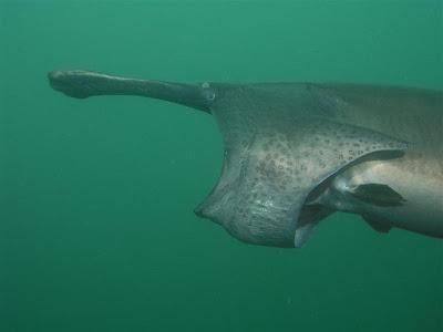 http://4.bp.blogspot.com/_ckBlasgNSzg/SWASyncXRyI/AAAAAAAAKf0/Wu5VnsIp_OU/s400/paddlefish%2BMouth.jpg