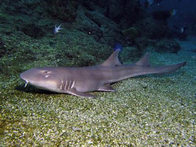 Fish Index: Black Banded Cat Shark (Chiloscyllium punctatum)