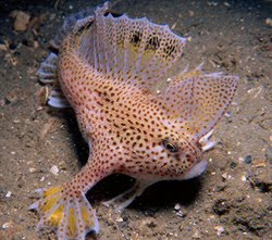 Spotted Handfish