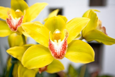 A Yellow Orchid