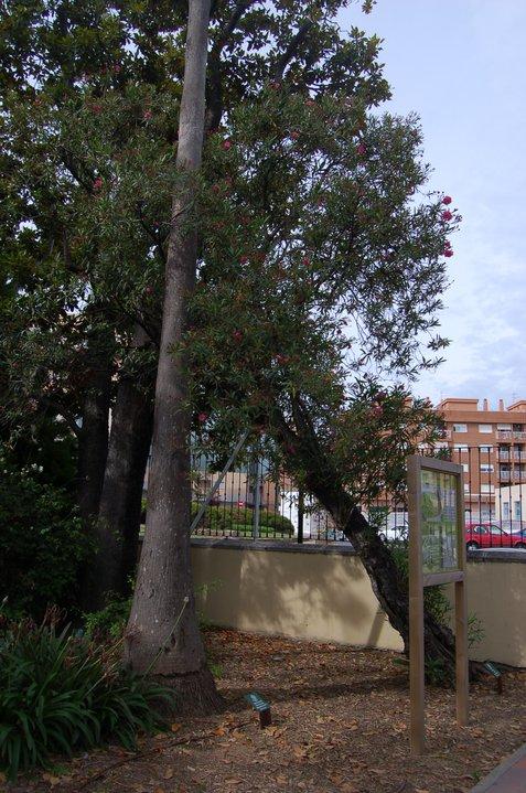 Baladre (Nerium oleander). Alqueria Laborde. Gandia