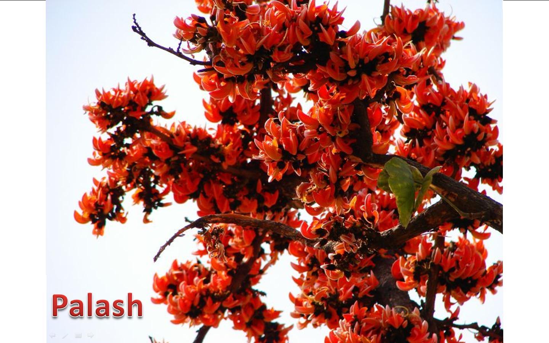 Flowers of Bangladesh: PalashPalash Flower
