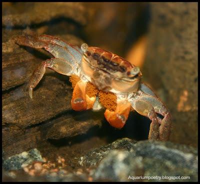 Aquarium Crab Gallery: Pseudosesarma moeshi (formerly Sesarma bidens)