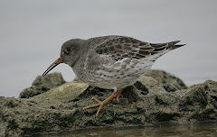 Purple Sandpiper Draycote Water