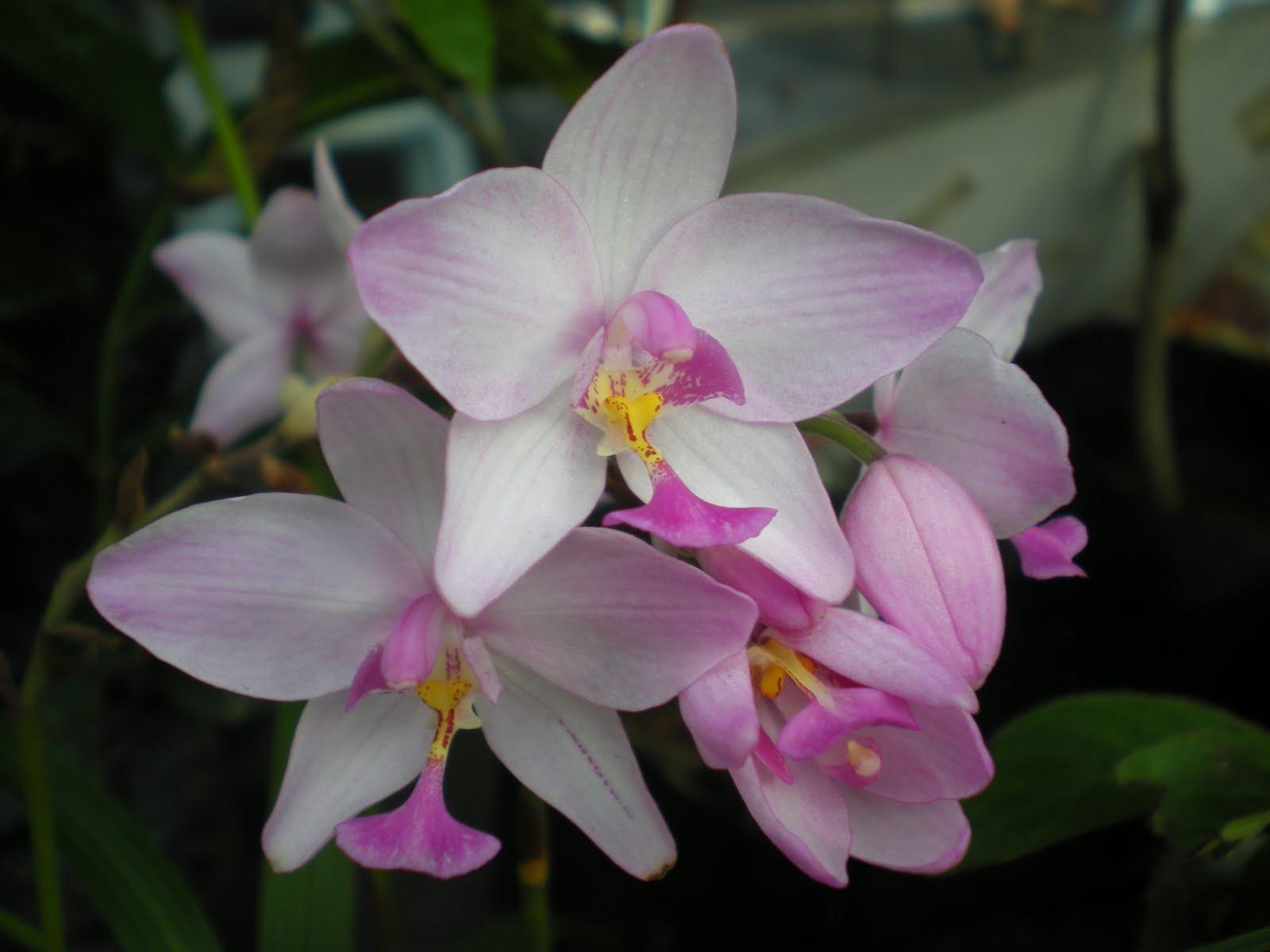 Hati Berdetik dan Berbisik Spathoglottis Orkid Pinang