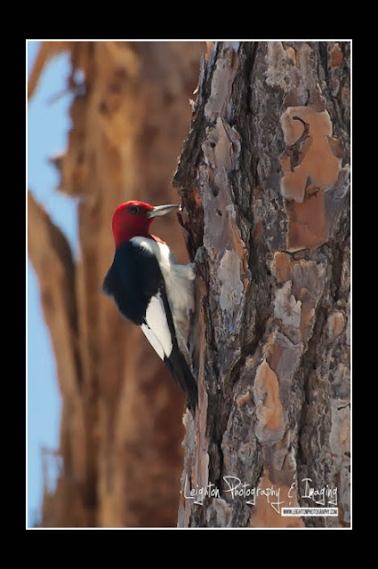 An Elusive Beauty - The Red-Headed Woodpecker