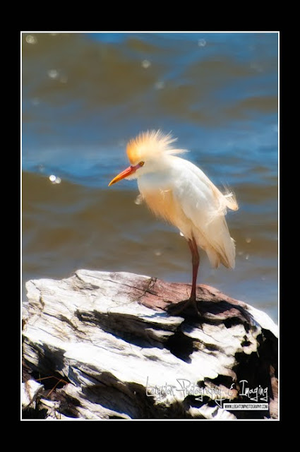 Unexpected Florida Beach Sighting - Cattle Egret in Breeding Plumage